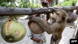 A Thai monkey trainer works with a monkey showing it how to collect coconuts at the Samui Monkey Center on Samui island, 19 July 2003.