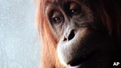 Los gorilas, langures y lémures son las especies en mayor peligro de extinción.