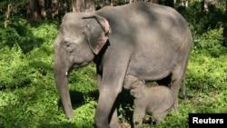 野生大象母子。