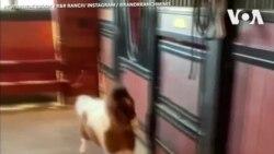 Giải cứu ngựa 'tí hon' ở Missouri, Mỹ