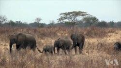 反偷猎战(2):非洲象杀戮场