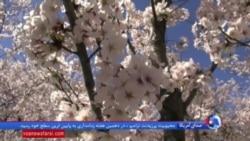 جشن شکوفه های گیلاس در واشنگتن دی سی