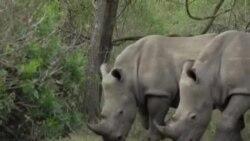 南非保育人士将犀牛角灌毒以拯救犀牛