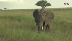 China, Tanzânia e o comércio de marfim