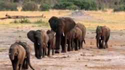 Les éléphants menacés quotidiennement par les braconniers au Tchad