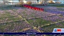 زعفران بدیل تریاک در هرات