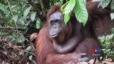 Orangutans and Giraffes Among Most Vulnerable Species