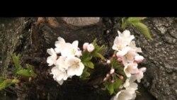 Hoa anh đào tại Maryland thu hút du khách khắp nơi