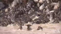 非洲动物种群因战乱而减少