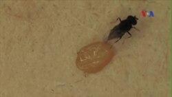 Nhà khoa học Mỹ dùng ong bắp cày diệt bọ đục thân xâm lấn