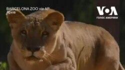 У зоопарку Барселони у чотирьох левів виявили коронавірус. Відео