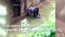 Harambe, o gorila de Cincinnati