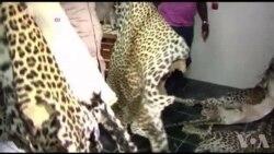Côte d'Ivoire : saisie de 60kg d'ivoire et des peaux de panthères (vidéo)