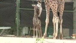 Деби на младенчето од жирафа во Зоолошката градина во Денвер, Колорадо