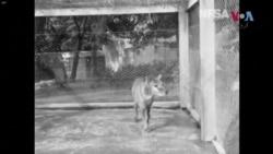 تسمانین ٹائیگر کی نایاب ویڈیو 85 سال بعد ریلیز