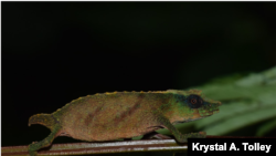 Male Rhampholeon chapmanorum in Mabunga forest (courtesy Krystal A. Tolley)