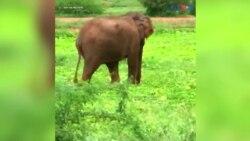 بیمار ہاتھی کو علاج کے بعد جنگل بھیج دیا گیا