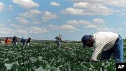 图为墨西哥农场工今年6月1日在加州的国王市(King City)附近的白菜地里除草
