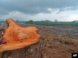 Much of the land on which palm oil firm PT Kal is planting already has been degraded, but freshly cut tree trunks show that forest here is still being cleared, in West Kalimantan, Indonesia, September 2011.