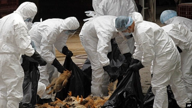 Health workers pack dead chicken at a wholesale poultry market in Hong Kong, on Dec. 21, 2011, after a bird flu scare in China.