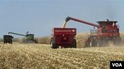 El 40% de los cultivos de maíz en Estados Unidos se dedica a la producción de etanol.