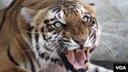Rusia tiene la población más grande del mundo de tigres en peligro de extinción, unos 350 o más.