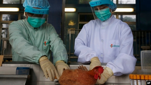 Authorities are taking samples of live poultry from mainland China to test for the H7N9 virus, April 11, 2013.