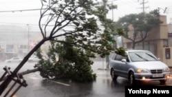 28일 15호 태풍 볼라벤이 한반도를 강타한 가운데, 한국 여수에서 강풍으로 쓰러진 가로수.