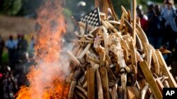 A pile of about 2,000 illegally trafficked elephant tusks and hundreds of finished ivory products are destroyed in the first ever Cameroonian burn of poached wildlife goods, in Yaounde, Cameroon, April 19, 2016.