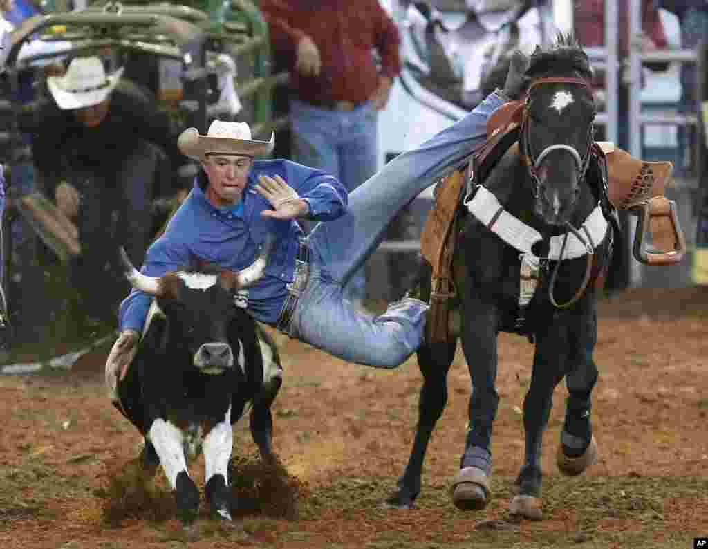 미국 오클라호마 주 로데오 경기에 참가한 남성이 말에서 뛰어내려 소 뿔을 잡으려 하고 있다.