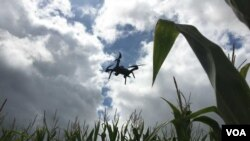 Researchers are studying how drones can identify problem areas such as herbicide resistant weeds and possibly spray difficult to combat weeds. (Photo: E. Lee / VOA)