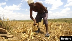 A farmer gathers arid corn crops on his farm in Kwale, Kenya, January 27, 2009.
