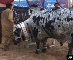 کراچی میں عید ِ قرباں کے لیے جانوروں کی آمد کا سلسلہ جاری