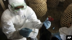 Seorang petugas kesehatan menyuntik unggas untuk mencegah penyebaran flu burung. (Foto: Dok)