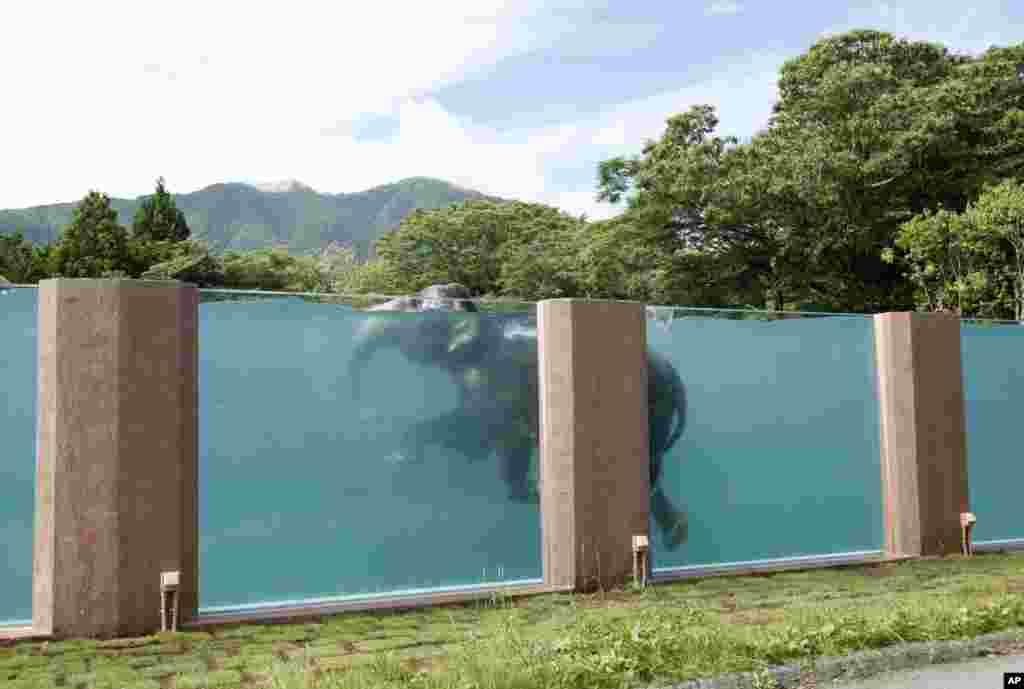 Seekor gajah Asia berenang di kolam sepanjang 65 meter di Fuji Safari Park di Susono, di kaki Gunung Fuji, barat daya Tokyo, Jepang.