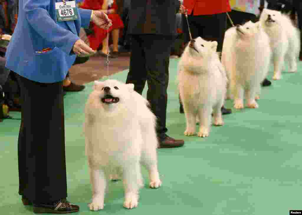 Samoyed dogs are judged during the first day of the Crufts dog show in Birmingham, central England.