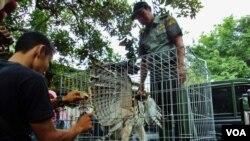Seekor Elang Jawa yang dievakuasi oleh tim BKSDA dari sebuah hotel di Solo (VOA/Yudha).
