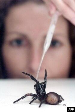 Mary Rayner mengambił racun dari laba-laba yang banyak ditemukan di sekitar Sydney dengan pipet, di Australian Reptile Park, Sydney 1 Oktober 2001. (AFP)