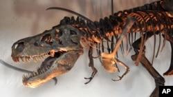 T. rex, sepupu Pinocchio rex yang baru diidentifikasi oleh sekelompok ilmuwan di China.