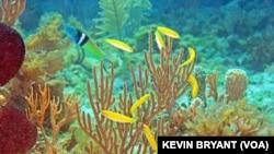 Lapinaların mavi başlısı erkek balık, sürüdeki yeşil dişi balıkları korumakla yükümlü