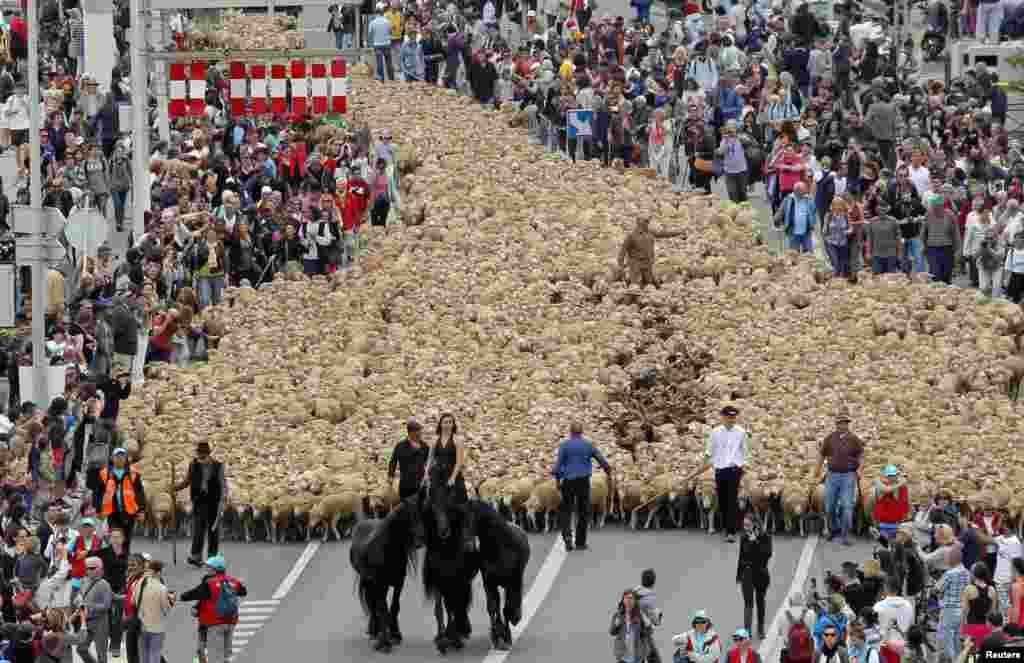 هزاران گوسفند در جریان مهاجرت نمادین فصلی به مراتع در بندر مارسی، که پایتخت فرهنگی اروپا در سال 2013 است.