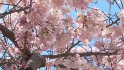 Washington Cherry Trees Sign of Harmony, Friendship with Japan