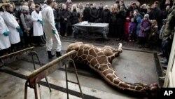 Jerapah jantan Marius, terbaring tak bernyawa sebelum dibedah di Kebun Binatang Kopenhagen (9/2). (AP/Peter Hove Olesen)