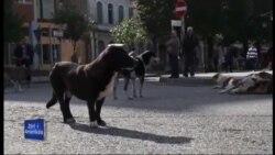 Shkodër: Vullnetarët në mbrojtje të kafshëve të rrugës