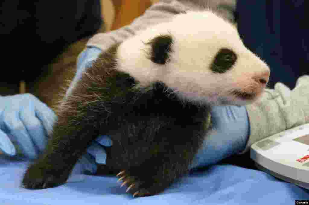 La bebé panda se ha convertido en la engreída de los visitantes al Zoológico Nacional del Smithsonian en Washington.