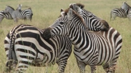 Zebra ျမင္းက်ား