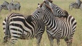 Migrimi i zebrave