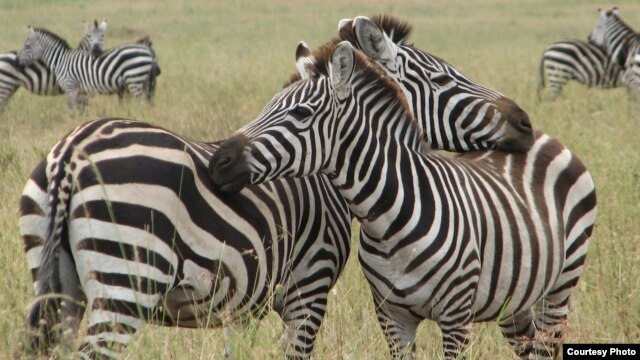 Zebra couples  are seen hugging in Serengeti, Tanzania in this file photo.