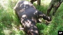 Xác một con tê giác bị giết để lấy sừng trong khu bảo tồn ở Nam Phi