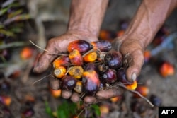 Seorang pekerja perkebunan kelapa sawit menunjukkan buah kelapa sawit di Meulaboh, Aceh, 28 Maret 2019. Indonesia adalah produsen utama minyak sawit, bahan baku berbagai produk, mulai dari minyak goreng, kosmetik, hingga biodiesel. (Foto: AFP).